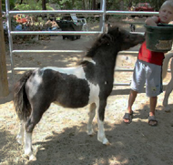 Miniature Horse Mare - Harley