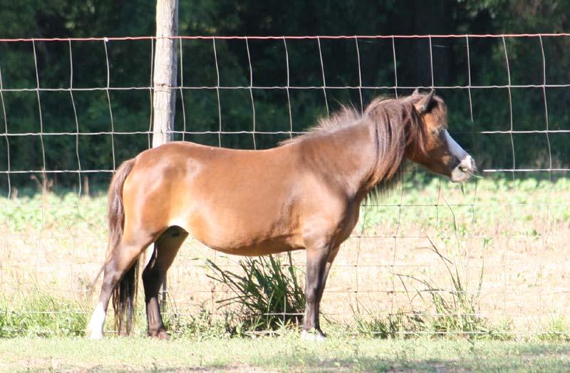 Miniature Horse Foals For Sale mini horses for sale